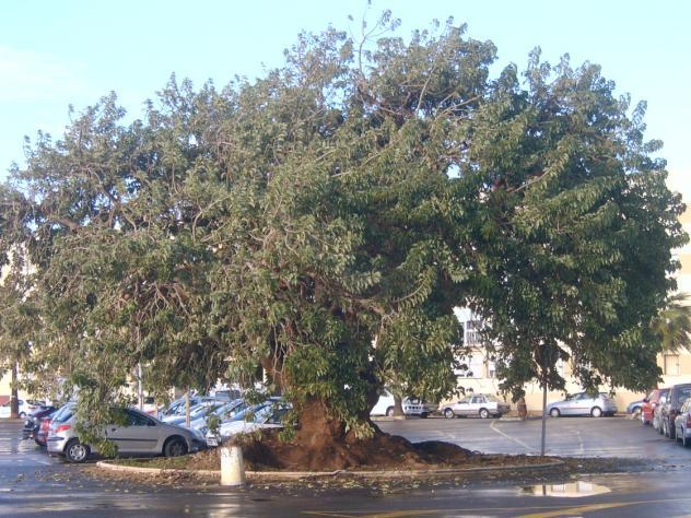 Ombu de Puerto Real (Cadiz)