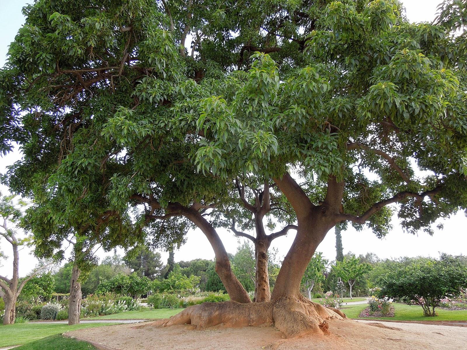 Botanic Serrat Ombu1