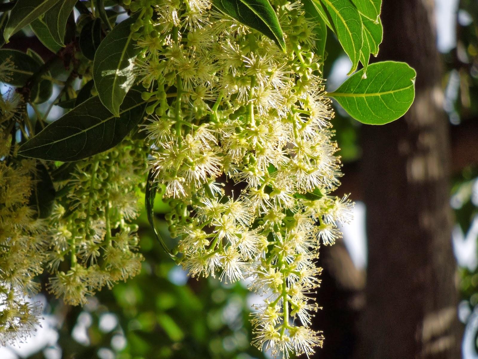 Botanic Serrat Ombu3