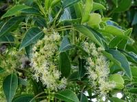 Botanic Serrat Ombu2