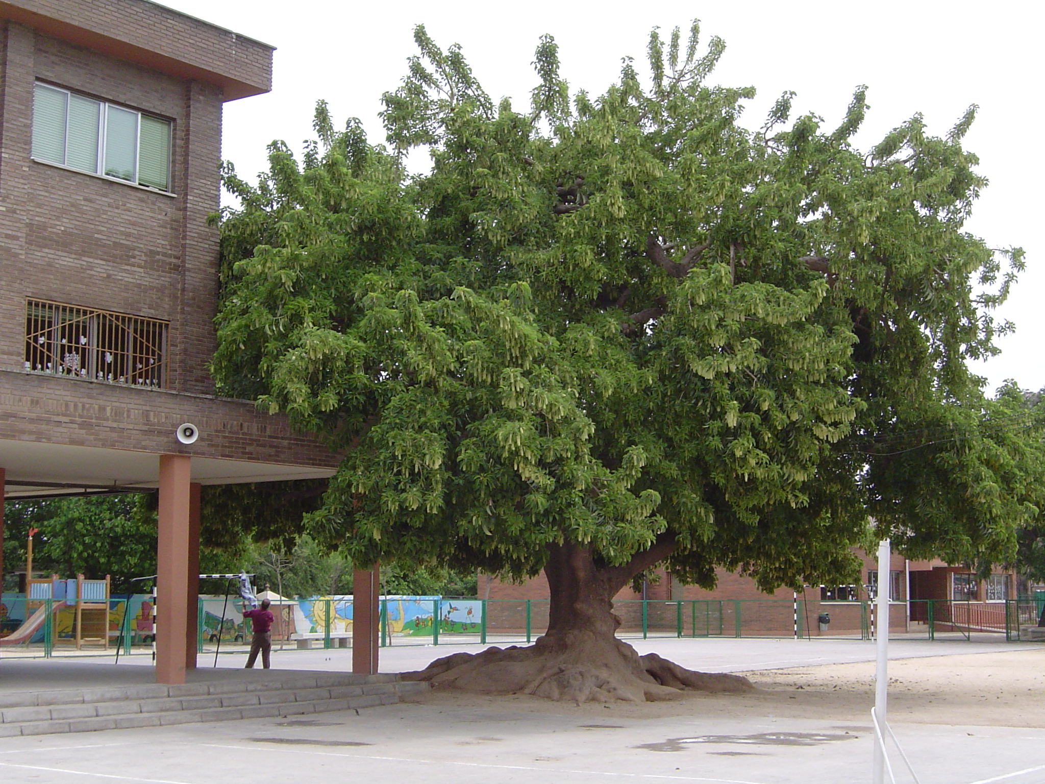 Ombu CEIP M. SANCHIS ALMINANO Alaquas-Valencia